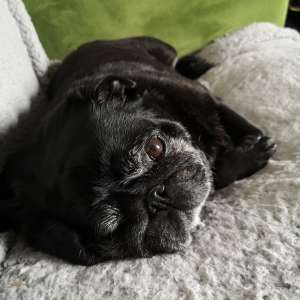 Humphreypug profile