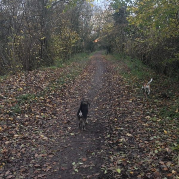 Dog walk at Ayot Greenway