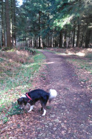 Dog walk at Bacton Woods photo