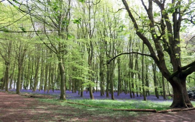 Badbury Clumps Dog walk in Oxfordshire