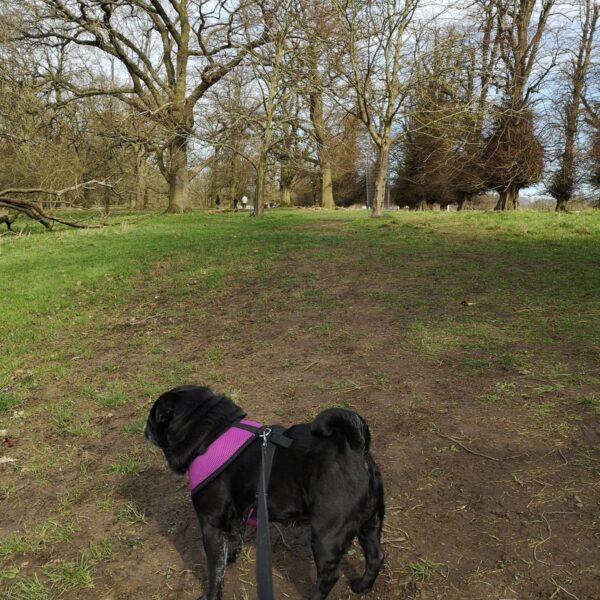 Dog walk at Belton House