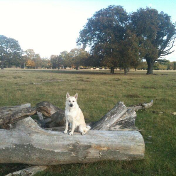 Dog walk at Bushy Park