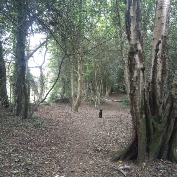 Dog walk at Chilworth Common