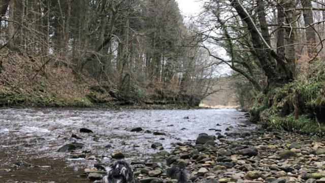Dog walk at Chopwell Woods