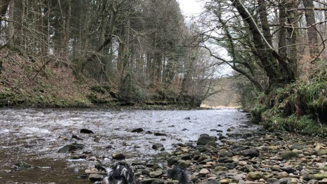 Dog walk at Chopwell Woods