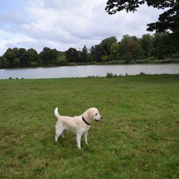Dog walk at Corsham Court