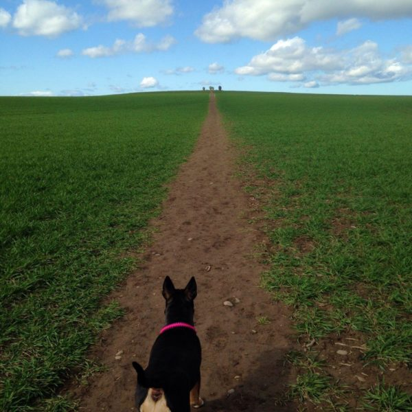 Dog walk at Duddo Stone Circle