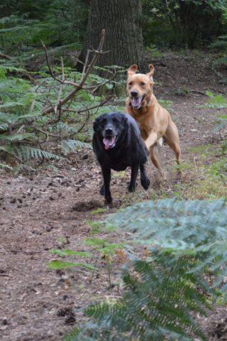 Dog walk at Dunwich Forest photo