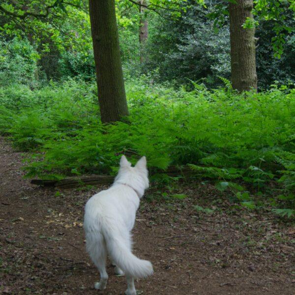 Dog walk at Fir And Pond Woods