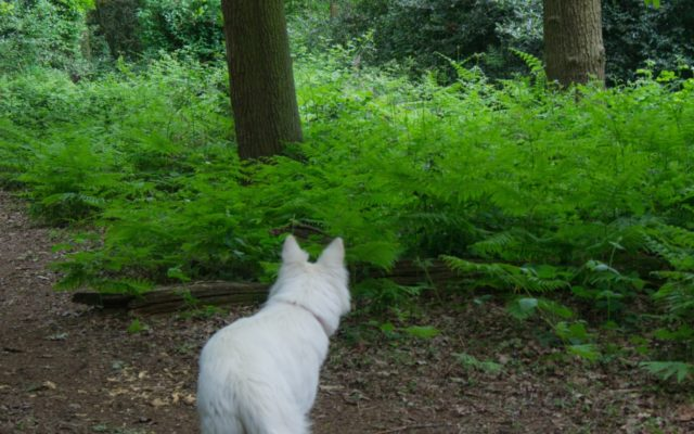 Fir And Pond Woods Dog walk in Hertfordshire