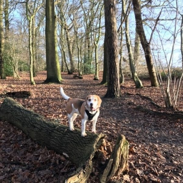 Dog walk at Garnetts Wood