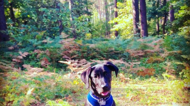 Dog walk at Harlestone Firs