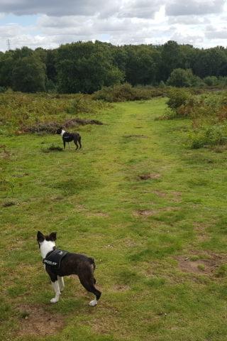 Dog walk at Hartlebury Common photo