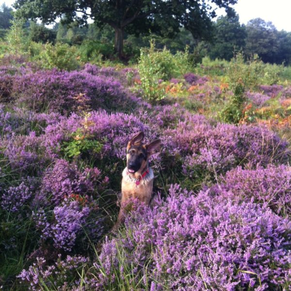 Dog walk at Hothfield Common