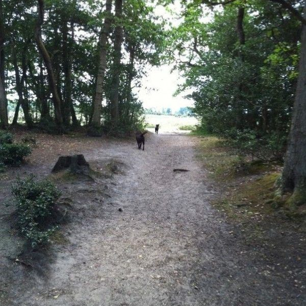 Dog walk at Kings Hat (New Forest)