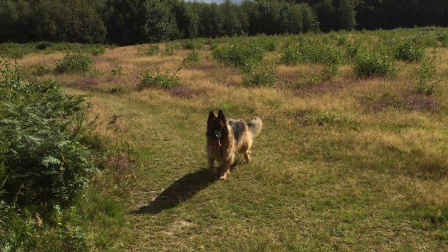 Dog walk at Kings Wood