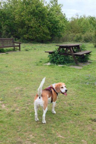 Dog walk at Linnets Wood, Ugley photo