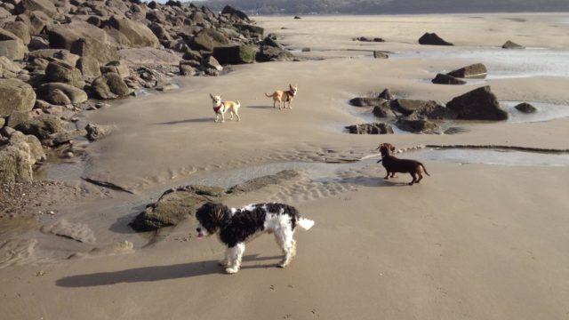 Dog walk at Llansteffan Walk