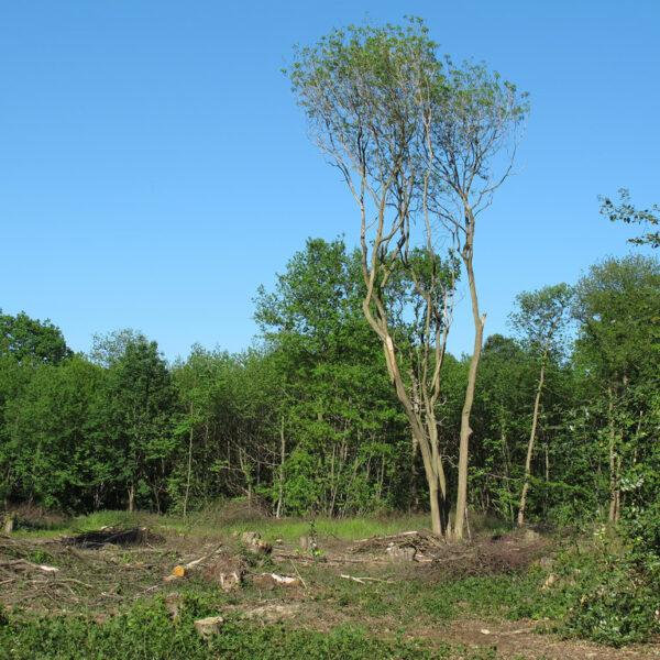 Norsey Woods photo 2