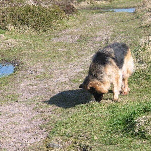 Dog walk at Pendeen Carn, Cornwall