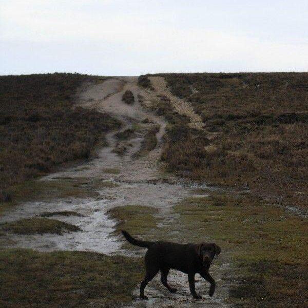 Dog walk at Pig Bush (New Forest)