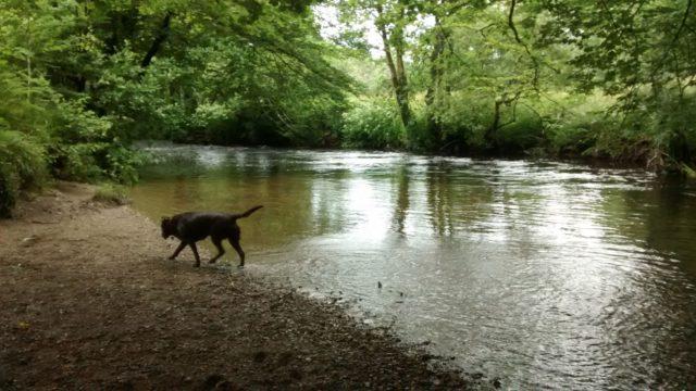Dog walk at Respryn Ramble Near Lanhydrock House