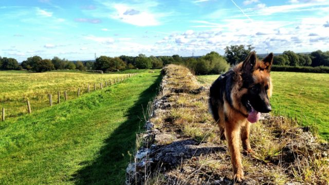 Dog walk at Roman Silchester
