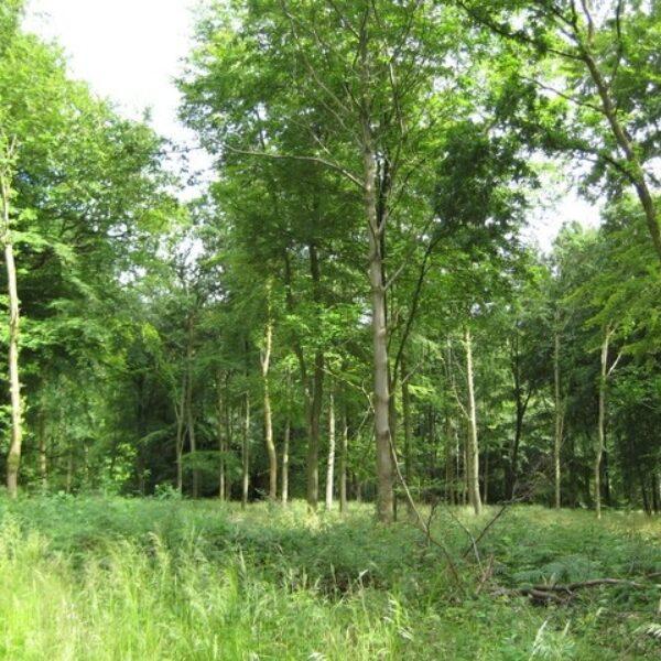 Dog walk at Savernake Forest