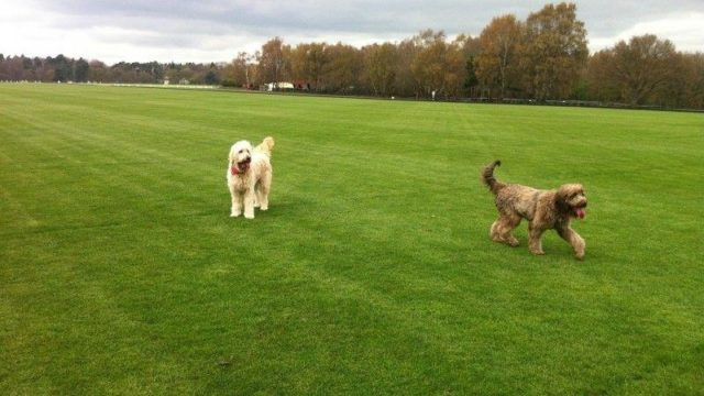 Dog walk at Savill Garden & Polo Fields