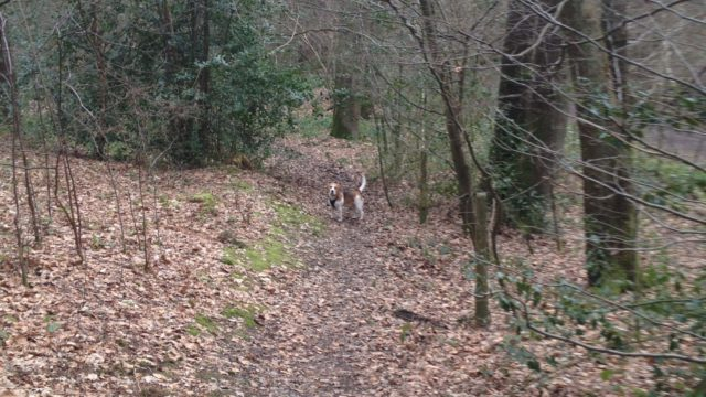 Dog walk at Sherrardspark Wood