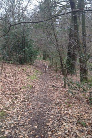 Dog walk at Sherrardspark Wood photo