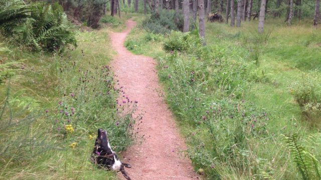 Dog walk at Tentsmuir Forest Park