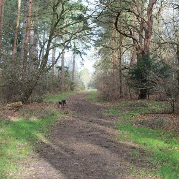 Dog walk at West Stow Forest