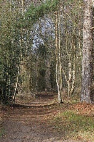 Dog walk at West Stow Forest photo