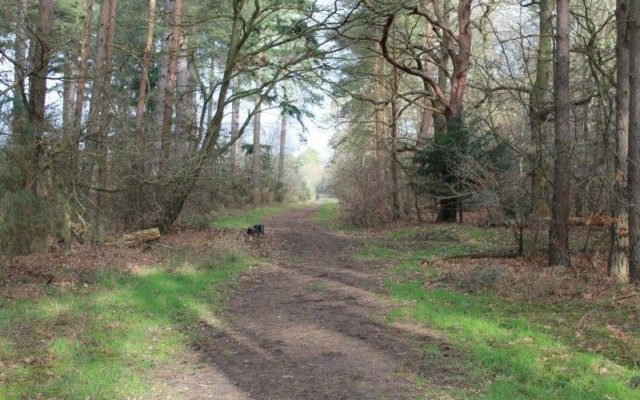 West Stow Forest Dog walk in Suffolk