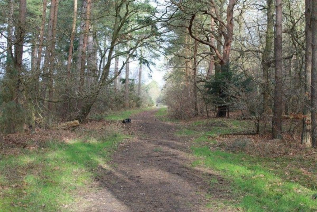West Stow Forest large photo 2
