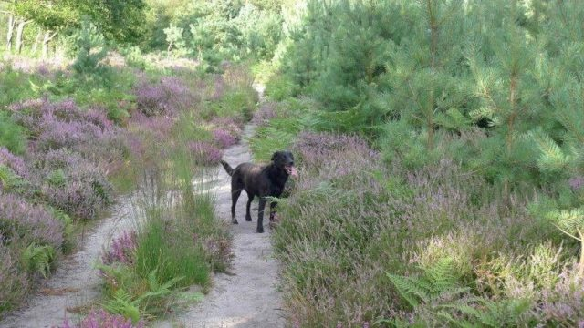 Dog walk at Westleton Heath