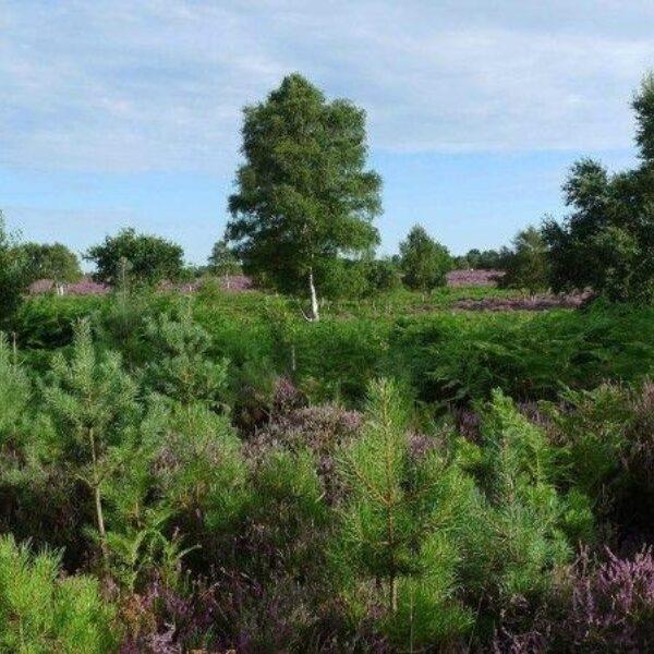 Westleton Heath photo 4