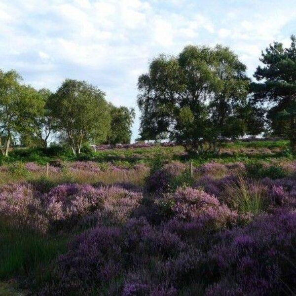 Westleton Heath photo 5