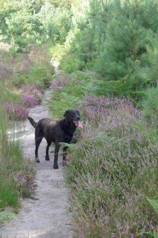 Dog walk at Westleton Heath photo